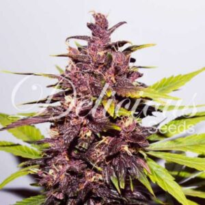 Dark Purple auto Delicious Seeds