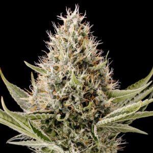 Dinamex fem Dinafem Seeds