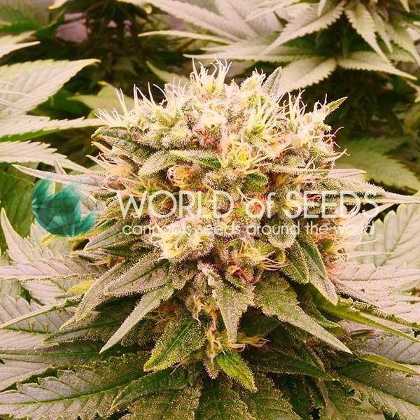 Harlequeen CBD fem World of Seeds