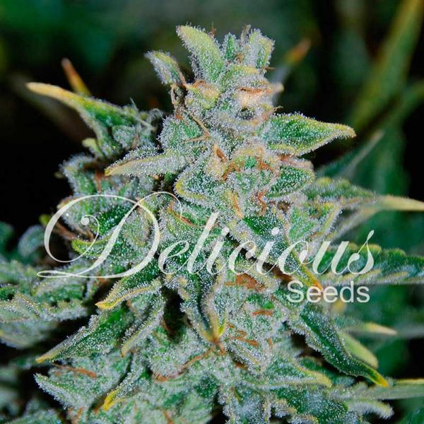 Northern Light Blue auto Delicious Seeds