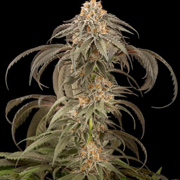Purple Afghan Kush fem Dinafem Seeds