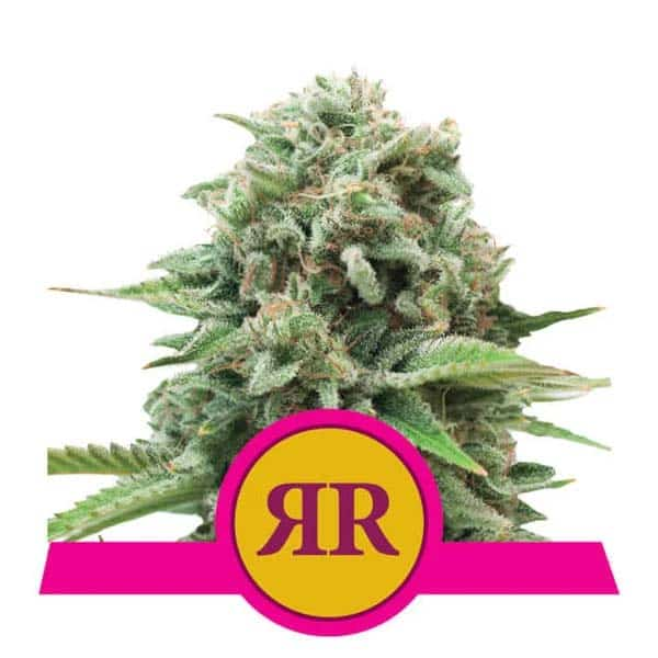 Royal Runtz fem Royal Queen Seeds