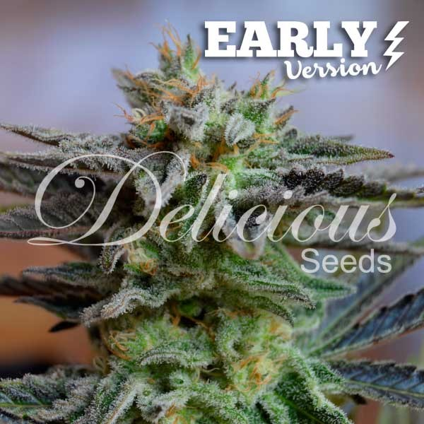 Sugar Black Rose early version Delicious Seeds