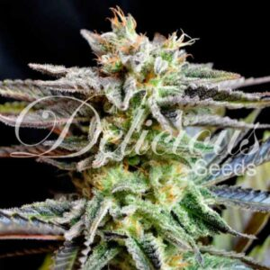 Sugar Black Rose fem Delicious Seeds
