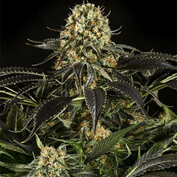 White Siberian fem Dinafem Seeds