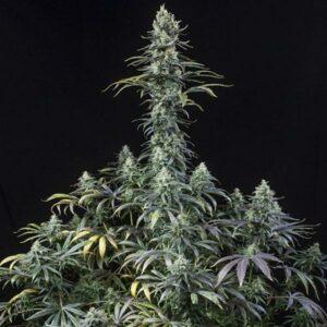 Early Amnesia CBD fem Dinafem Seeds
