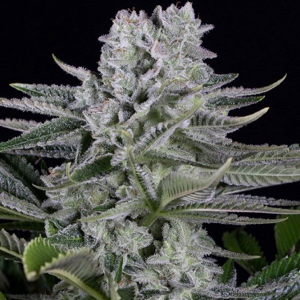 Gorilla CBD fem Dinafem Seeds