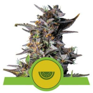 Watermelon auto Royal Queen Seeds