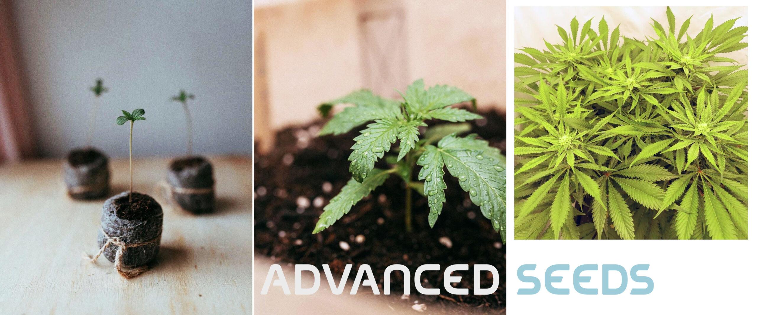 Advanced Seeds - semi cannabis