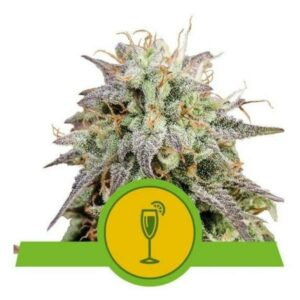 Mimosa auto Royal Queen Seeds