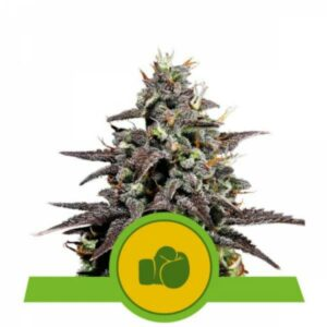 Purple Punch auto Royal Queen Seeds